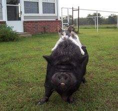 The cat and pig defend the yard...