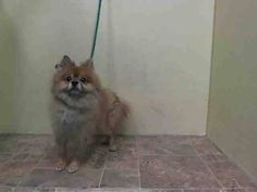 TO BE DESTROYED - 10/06/14 Manhattan Center   My name is TEDDY. My Animal ID # is A1016023. *** NEW HOPE ONLY *** I am a male tan and white pomeranian mix. The shelter thinks I am about 4 YEARS old.  I came in the shelter as a OWNER SUR on 10/01/2014 from NY 10458, owner surrender reason stated was OWN EVICT.  https://www.facebook.com/Urgentdeathrowdogs/photos/a.611290788883804.1073741851.152876678058553/880082442004636/?type=3&theater