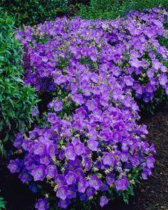 Phlox Ground Cover, Perennial Ground Cover, Ground Cover Plants, Flowering Ground Cover Perennials, Purple Perennials, Hardy Perennials, Flowers Perennials, Planting Flowers, Purple Flower Ground Cover
