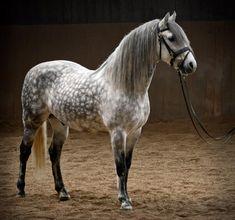 Mantelli del cavallo: GRIGIO pomellato - Horse coat colors: dapple GREY