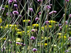 #Verbena and #Achillea #planting at Ally Pally