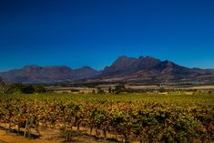 The beginning of autumn in the Cape Winelands by Nauta Piscatorque