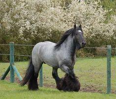 SD BLUE SUEDE Australia's first true blue roan stallion! | High ...