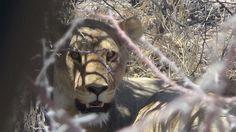 Une lionne dans le parc naturel d'Etosha, Namibie