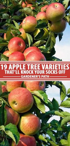Selecting the best apple tree varieties can be disappointing and fruitless (pun intended) if you don't pick the right trees. Cold hardiness, flowering groups, and chill hours can be overwhelming, and don't get me started on the trouble with triploids.