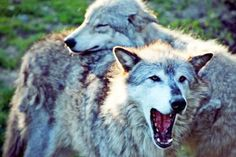 Wolves Win One in Battle With Ranchers | TakePart Wolves Win One in Battle With Ranchers Endangered species protections are restored for some gray wolves, but Congress is pressing to strip the predator of its special status for good.