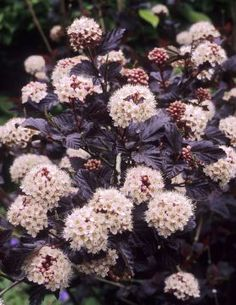 Diablos beautiful dark purple foliage and contrasting snowball flowers in late spring and early summer make a real display in the landscape… Ninebark Shrub, Front Yard Flowers, Foundation Planting, Flower Landscape, Landscape Design, Plants Online, Foliage Plants, Plantation, Gardens