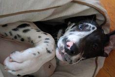 LEMON! great dane puppy