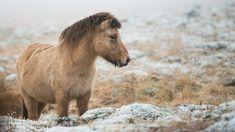 Goats, Animals, Iceland Landscape, Animales, Animaux, Animal, Animais, Goat