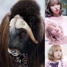 ChineseZodiac&KPOP // Ox // Luda of CosmicGirls WJSN