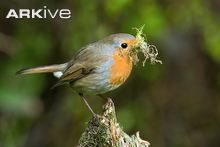 Robin with moss nesting material © Andy Sands / naturepl.com
