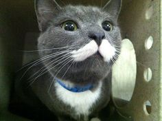 """rescue kitten: hulk hogan look-alike.""     i have *never* seen a cat like this!!"