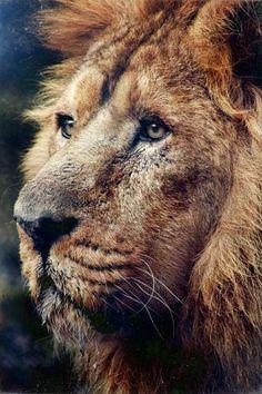 Lions Maneby (Goncalo Martins)