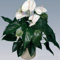 Антуриум. | Комнатные растения.