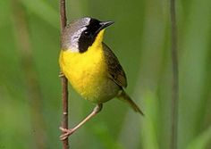 The Common Yellowthroat.  My first official recording June 3, 2003 - Point Pelee National Park, Essex County, Ontario. Male bird.