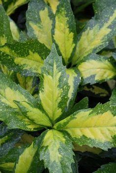 Aucuba japonica Picturata  ---  Tough and easy -care. Aububas dislike heavy or damp soil.