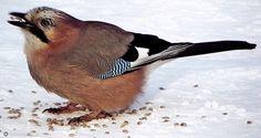 ptaki polskie - sójka