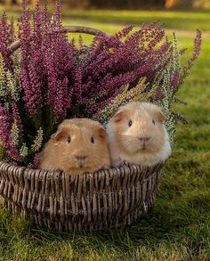 Guinea pigs and heather