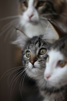 Trio by Titran's Norsk Skogkatt on Flickr.