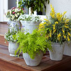 A trio of mosquito repelling potted plants. Perfect for the back porch.