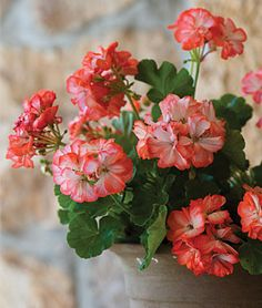 Geranium 'Stardom Orange-White Bicolor' - You can never go wrong with a geranium. They perform so well in sun and heat.