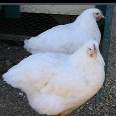 White Rock Hens. Egg production supposedly unaffected by Winter Equinox. We'll see...