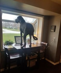 131 lb 10 month old Great Dane, Harley. He just ever so gently hopped up there like a rabbit. Great Dane Funny, Great Dane Dogs, Funny Cute, Funny Dogs, Cute Dogs, Giant Dogs, Big Dogs, Weimaraner, Blue Great Danes