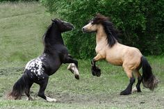 Wow! Both these guys are so beautiful. I'd love to see them in my own pasture.