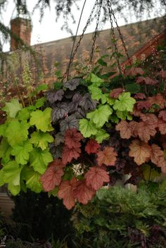 Heuchera (Coral Bells) Hanging basket GardenBook: Over the Top Winter Hanging Baskets, Plants For Hanging Baskets, Hanging Planters, Garden Yard Ideas, Garden Pots, Container Plants, Container Gardening, Window Box Flowers, Window Boxes