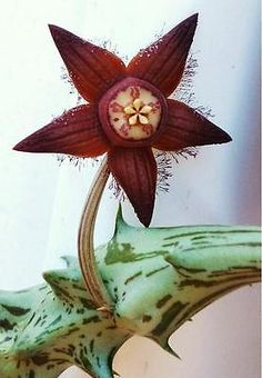 DUVALIA SULCATA, rare Stapelia exotic Huernia hoodia succulent aloe seed 5 seeds