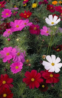 ✿❁✽Delightful✾✽❃ — May Flowers Cosmos Flowers, Exotic Flowers, Amazing Flowers, Beautiful Roses, My Flower, Beautiful Gardens, Flower Power, Wild Flowers, Beautiful Flowers