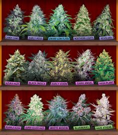 Marijuana Seeds Canada - Buy Cannabis Seeds For Sale - Crop King
