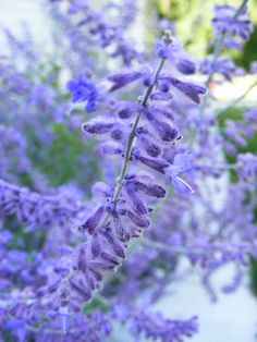 Russian sage. Drought tolerant and deer/rabbit-resistant. This airy looking plant can grow as high as 4 ft. tall and 4 ft. wide!