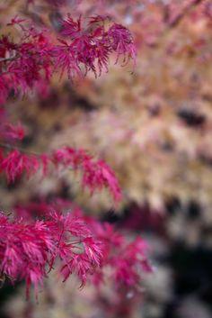 Acer Palmatum Seiryu and Sango Kaku
