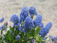Ceanothus 'Skylark' is a waterwise staple. Convert your thirsty lawn into an attractive low water landscape. Learn about rebate programs in Sacramento.