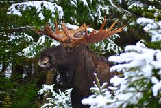 Moose, Photography, Animals, Elk, Photograph, Animales, Animaux, Fotografie, Photo Shoot