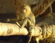 Zwergseidenäffchen in in Peru Foto von kleinem Affen.