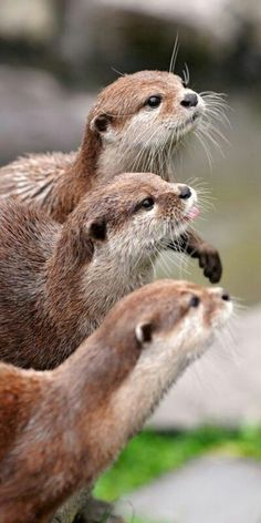 North American river otter (Lontra canadensis) is a semiaquatic mammal endemic to the North American continent found in and along its waterways and coasts. The Animals, Baby Animals, Funny Animals, Cutest Animals, Cute Creatures, Beautiful Creatures, Animals Beautiful, Otter Love, Especie Animal