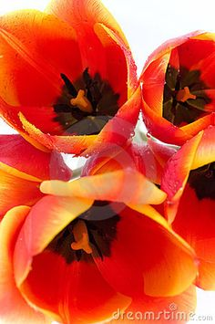 Orange Tulips by Nikmerkulov | Via Dreamstime