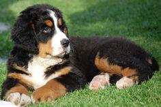 Bernese Mountain Dog Puppy - Beautiful Bernese Mountain Dog Puppy