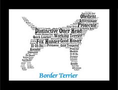 Traits of the Border Terrier The Border Terrier originated around the border country between Scotland and England in order to chase and dispatch the fox that were considered a nuisance to farmers. The