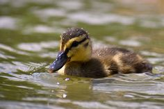 Beautiful young duck on the surface of a... | Free Photo #Freepik #freephoto #background #baby #water #family Cute Ducklings, Raising Ducks, Old Trunks, Duck Eggs, Grass Field, Baby Ducks, Brown Babies, Baby Yellow, Summer Days