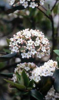 De sneeuwbal Viburnum burkwoodii heeft roze knopjes waaruit bloempjes komen, die heerlijk geuren. De bloemen worden steeds witter als ze langer open zijn.