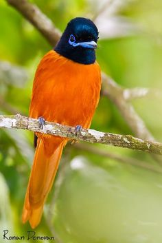 Red-bellied paradise-flycatcher by Ronan Donovan (.... looks more like orange to me )