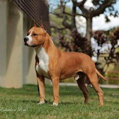 HULK - Amstaff Brasil Staff Bull Terrier, Pitbull Terrier, All Breeds Of Dogs, Dog Breeds, Big Dogs, Cute Dogs, American Pitbull, American Staffordshire, Beautiful Dogs