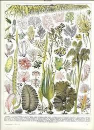 seaweed illustration - Google Search