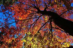 'The Canopy Above' by Donald Sewell on Capture Inland Northwest // Another scene from the amazing Corbin Park in North Central Spokane. Looking up inside a towering Maple Tree with wonderment. Spokane Washington, Maple Tree, Pacific Northwest, Looking Up, North West, Canopy, Scene, Sunset, Park