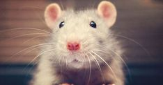 but this little rat is cute! Funny Animal Pictures, Funny Animals, Cute Animals, Animal Pics, Beautiful Creatures, Animals Beautiful, Happy Facts, Fancy Rat, Cute Rats