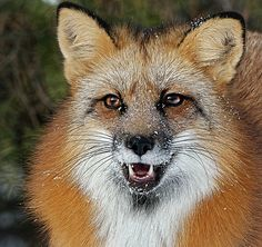 Red fox with snow on his face.  Wildlife photography artwork.  http://fineartamerica.com/featured/fox-splattered-with-snow-athena-mckinzie.html?newartwork=true