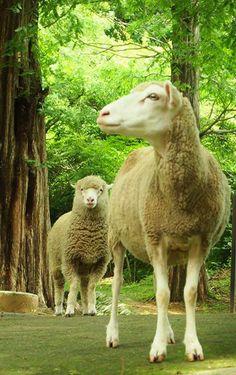 六甲山牧場、足がスラットしたモデル級のひつじと今年生まれた子羊。